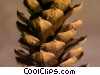 Stock photo  of a pinecone