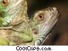 Stock photo  of a iguanas