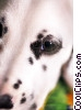 Dalmatians Stock photo