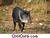 Stock photo  of a pig