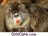 Stock photo  of a Beaver