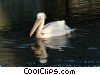 Stock photo  of a pelican