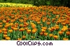 Stock photo  of a Tulips