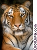 Stock photo  of a Royal Bengal Tiger