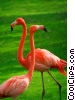 Pink Flamingos Stock photo