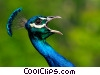 Peacock Squawk Stock photo