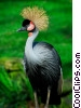 Stock photo  of a Crested Crane