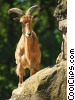 Stock photo  of an Aoudad Barbary Sheep