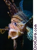 Stock photo  of a Pterois Volitans Lion Fish