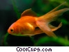 Stock photo  of a Fantail Goldfish