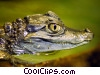 Stock photo  of a Caiman Close-Up
