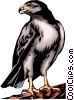 Vector Clip Art graphic  of a Red-tailed Hawk