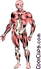 Musculature Vector Clipart picture