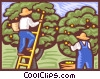 Harvesting fruit crop Vector Clipart picture