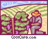 harvesting grapes Vector Clipart illustration