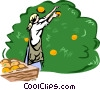 Vector Clip Art image  of a harvesting oranges