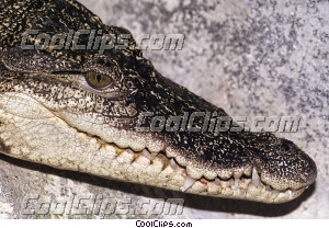 Crocodiles Royalty Free Stock Photo Clipart wb033443