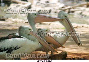 Pelicans Royalty Free Stock Photo Clipart wb042661