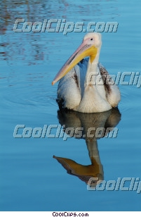 pelican Royalty Free Stock Photo Clipart wb042717