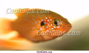 goldfish Royalty Free Stock Photo Clipart wb044934