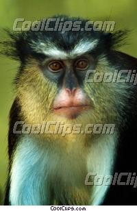 Mona Guenons Monkey