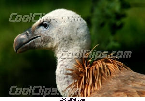 Griffon Vulture Close-Up