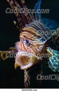 Pterois Volitans Lion Fish