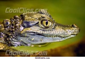 Caiman Close-Up