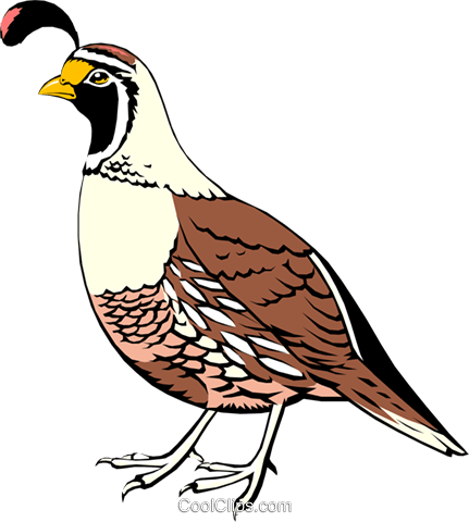 California Quail Royalty Free Vector Clip Art illustration anim0046
