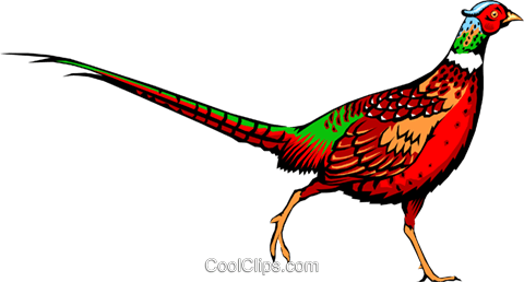 ring necked pheasant royalty free vector clip art illustration rh search coolclips com pheasants clipart pheasant clip art pictures