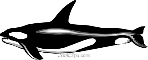 Killer whale Royalty Free Vector Clip Art illustration anim0227