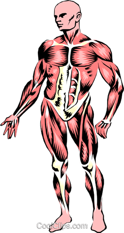 Musculature Royalty Free Vector Clip Art illustration medi0035