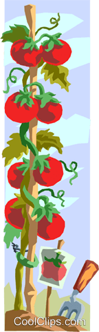 tomato vine Royalty Free Vector Clip Art illustration food0880