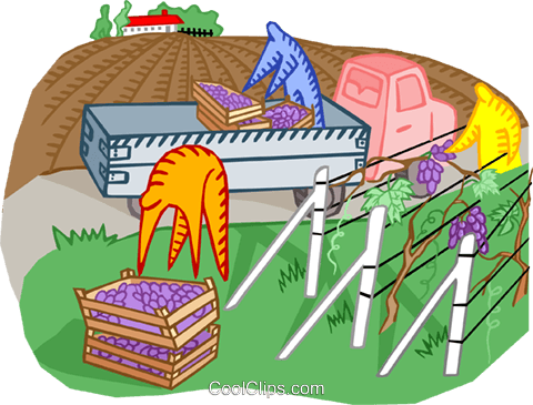 harvesting grapes for wine production Royalty Free Vector Clip Art illustration indu1184